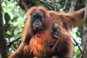 China-backed hydro dam threatens world's rarest orangutan