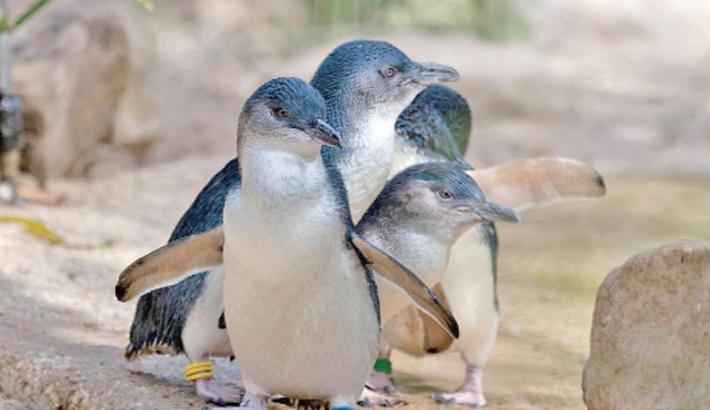 58 Australian fairy penguins killed in 'dog attack'