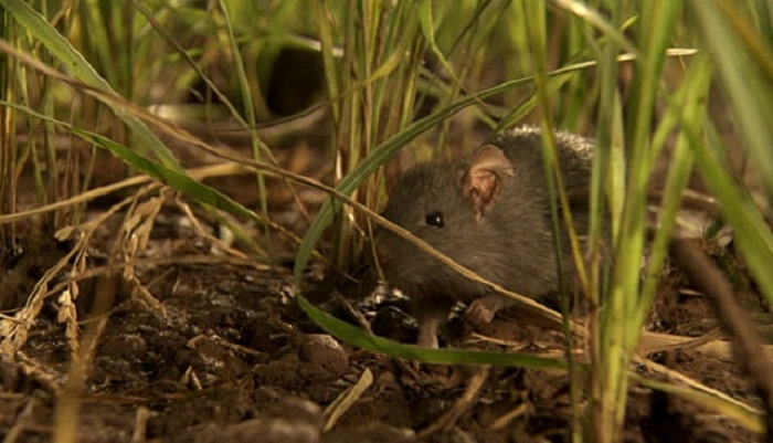 Rats alone eat up nearly 4 percent crops in Bangladesh: experts
