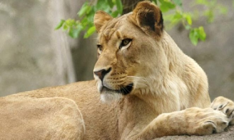 Why did this lioness kill her male partner?