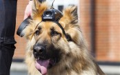 Some police dogs now have cameras too