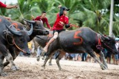 Buffaloes plow through annual racing festival in Thailand