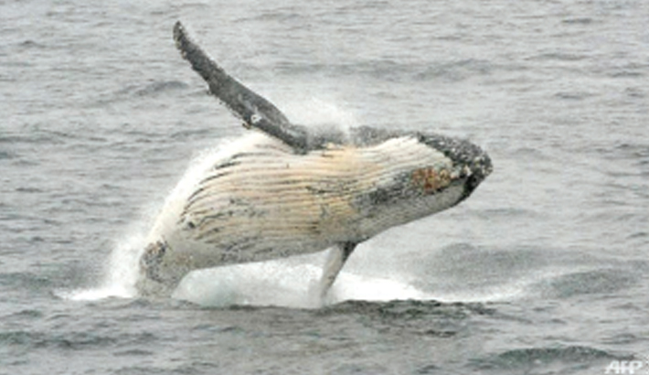 Humpback whales stop singing when ships are near: Study