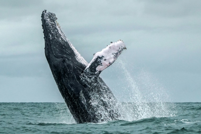Recovery of endangered whales hampered by humans long after hunting