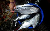 Nations set to decide fate of depleted bigeye tuna