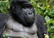 Fin whale, mountain gorilla populations rise amid conservation action