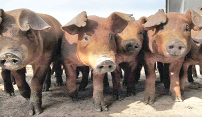 'Very serious': African swine fever spreads in China