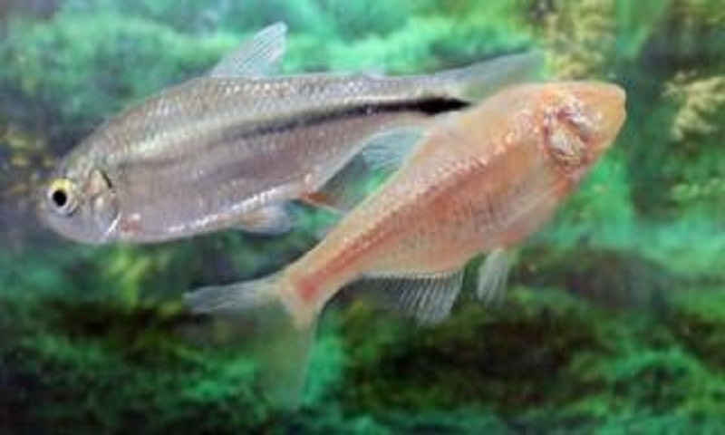 Mexican tetra fish may offer heart repair clues