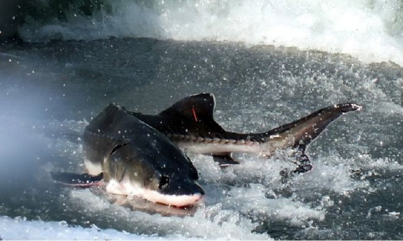 Dead Chinese sturgeons halt China eco resort construction