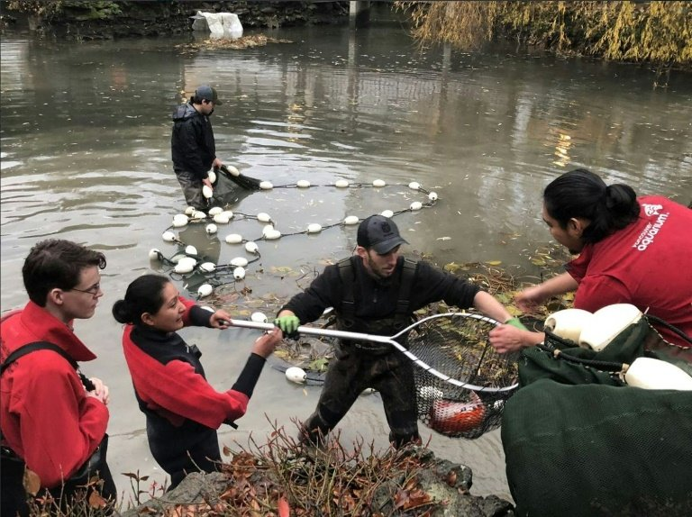 Otter versus koi: the battle that has gripped Canada