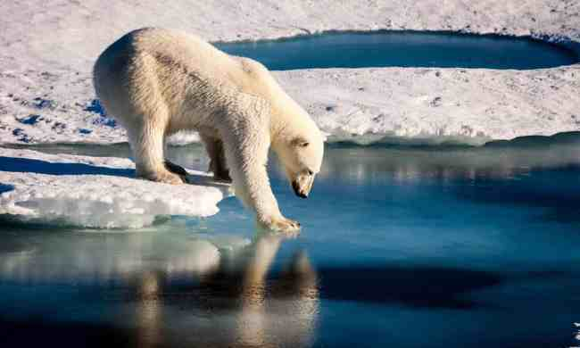 Disappearing Arctic sea ice threatens Canada's polar bears: expert panel