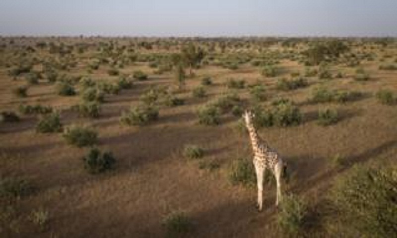 Saving the world's last West African giraffes in Niger
