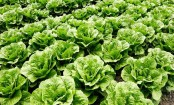 Lettuce – the greenest of all the leafy Greens