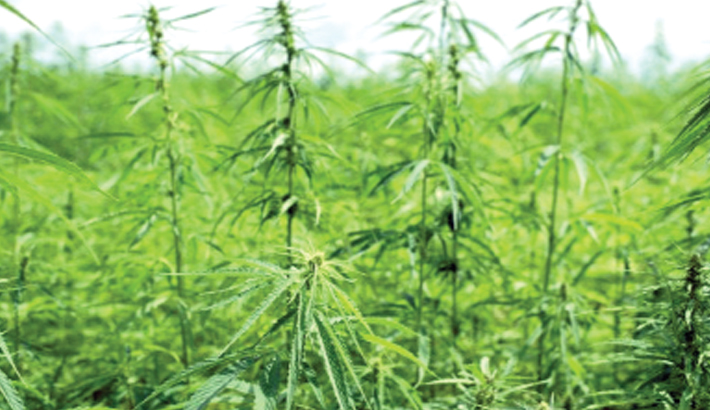 US Congress legalises  industrial hemp cultivation