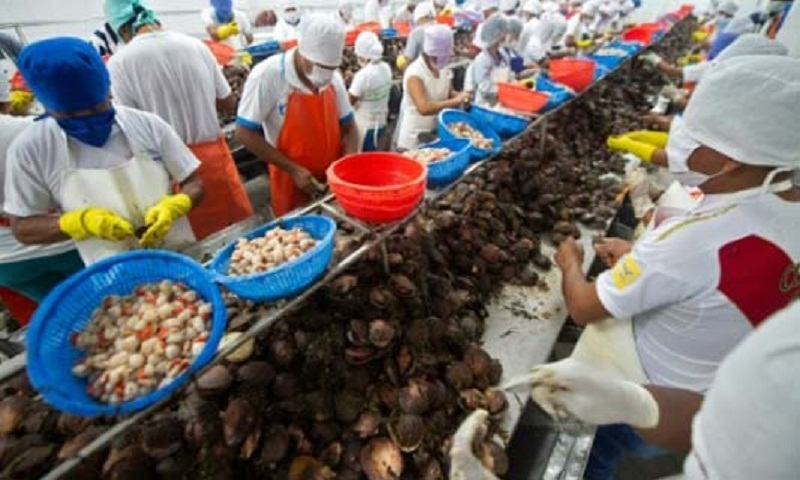 Scallops: Peru's 'golden nuggets' of the sea