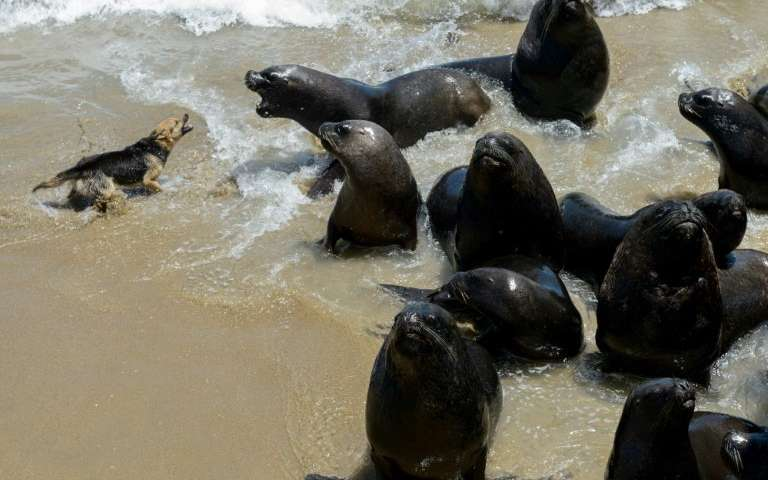 Protected Chilean sea lions are the 'enemy' of fishermen