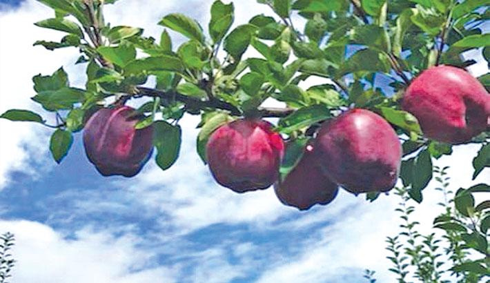 Black diamond apple: A rare species of fruit