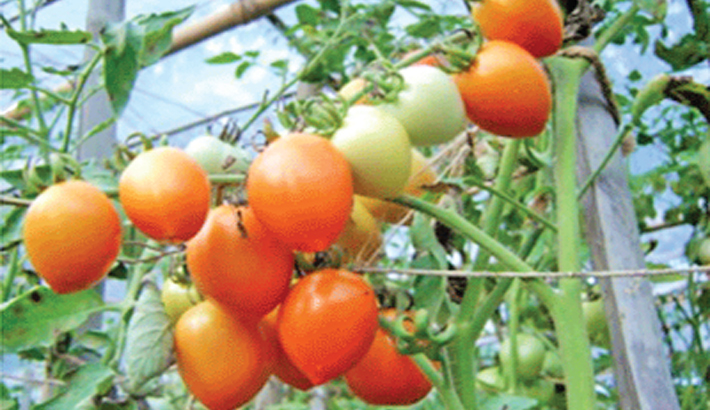Growers happy with tomato production in Naogaon