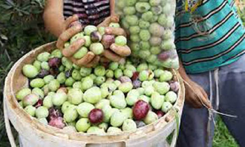 Libya's 'green gold' olive industry hit by export ban