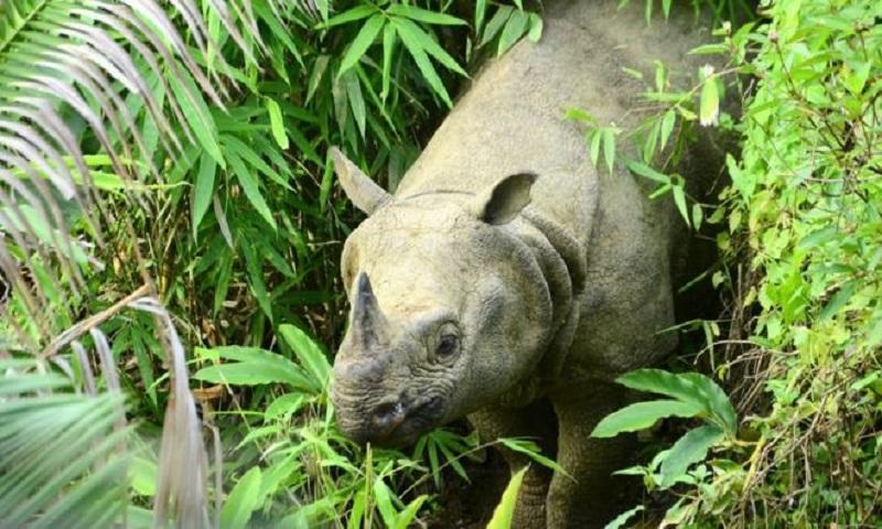 Anak Krakatau: How a tsunami could wipe out the last Javan rhinos
