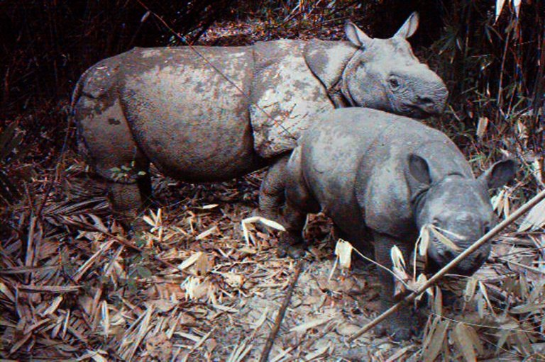 Indonesia tsunami raises fears for endangered Javan rhino
