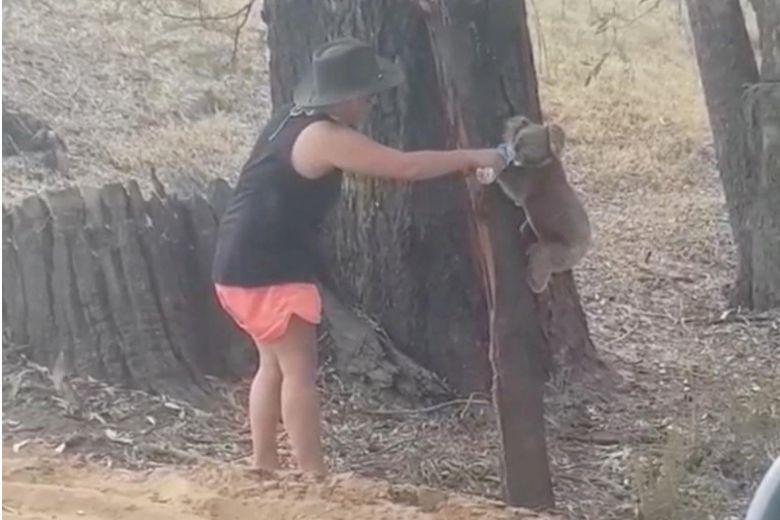 Koala drinks from water bottle in Australia heatwave