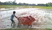 Transplantation of Boro seedling begins in Rangpur region