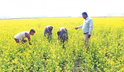 High yield of mustard seed likely in Feni