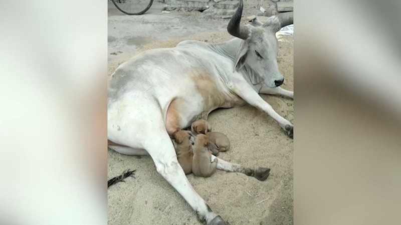 Cow feeds 4 puppies after their mother dies in accident (Video)