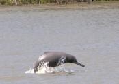Community people to become Sundarbans dolphin saviours