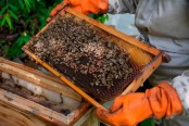 Cocoa pesticides threat Bolivian bees existence