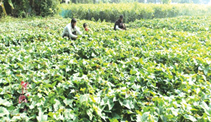 Bumper sweet potato yield expected in Rajshahi