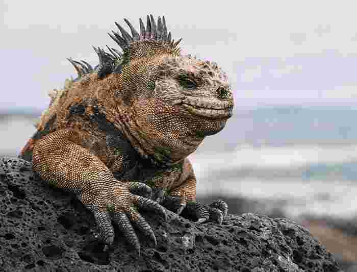 Iguanas reintroduced to Santiago Island in Galapagos