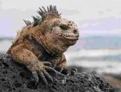 Iguanas reintroduced to Santiago Island in Galapagos