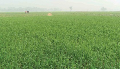 Bumper wheat production expected in Bogura