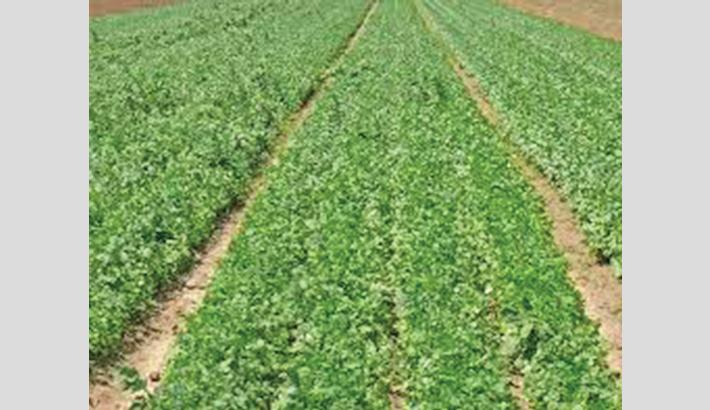 Naogaon farmers happy  with coriander farming