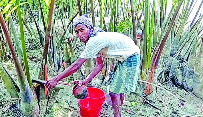 Farmer collects juice from Nipa Palm