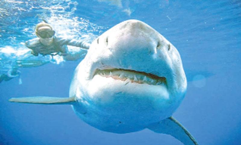 Divers spot giant white shark off Hawaii coast