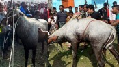 Endangered Nilgai rescued in Naogaon