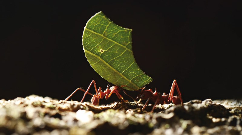 Leaf-cutter ants build megaprojects without any communication