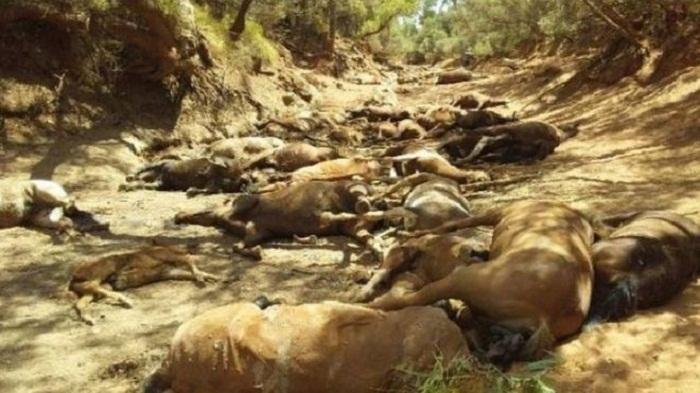 Australia wild animals perish at dried-up waterhole