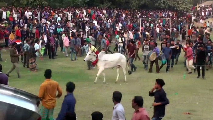 Cow-race thrills Manikganj people