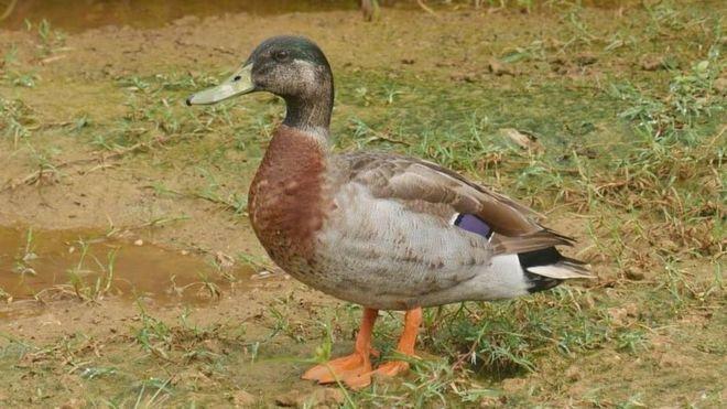 Trevor the Duck: Niue mourns 'world's loneliest duck'