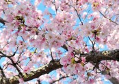 Best places to see the cherry blossoms in Japan