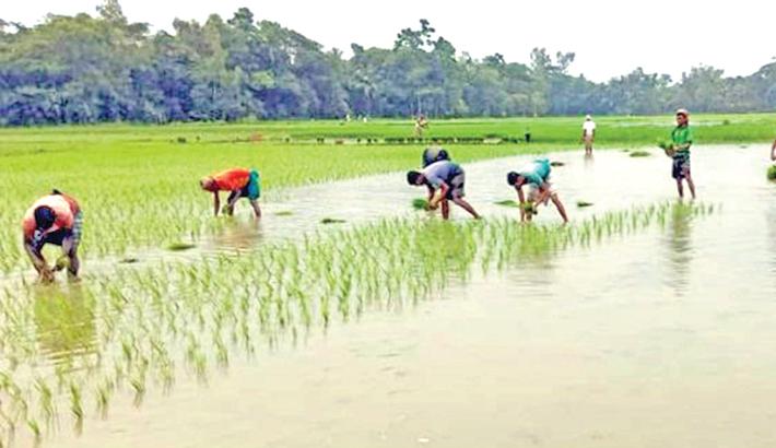 Transplantation of Boro seedlings goes on in Nilphamari