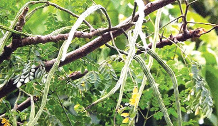 Bumper drumstick yield expected in Joypurhat