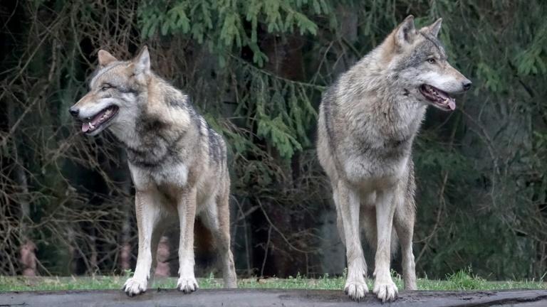 Wild wolves in crosshairs of German politics