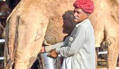 India milks a profit in quest to bump camel numbers