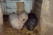 Woman 'eaten alive' by pigs