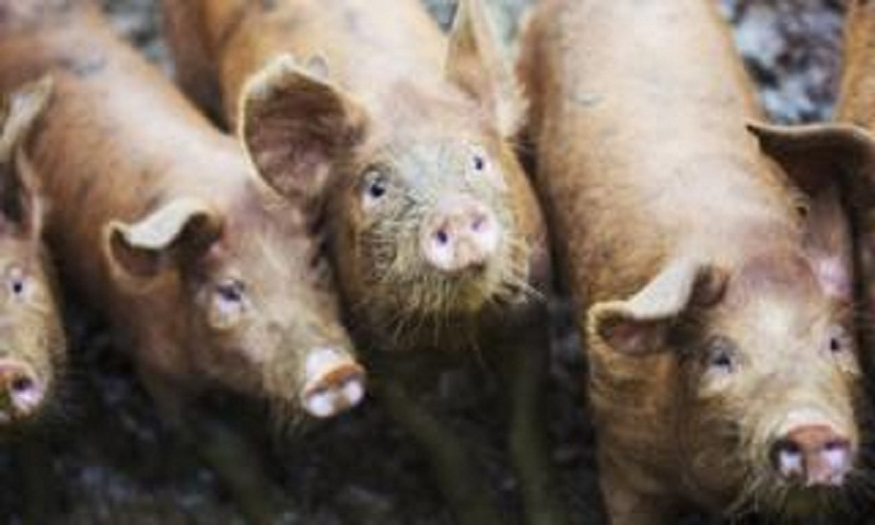 Russian woman 'eaten by pigs' after collapsing